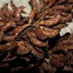 The invasive alien species Amorpha fruticosa ...